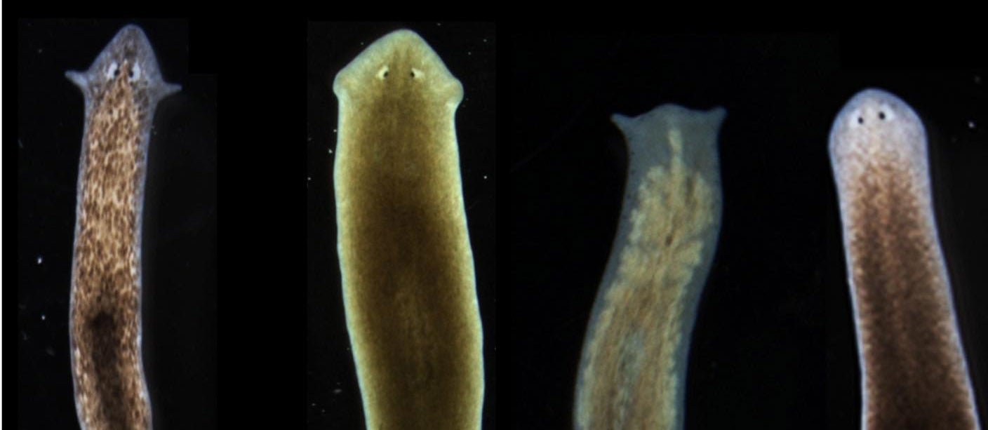 Biologists Coax Worms Into Growing New Kinds Of Heads