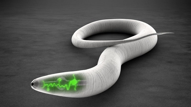 Infertile Worms May Be Immune To Brain Deterioration