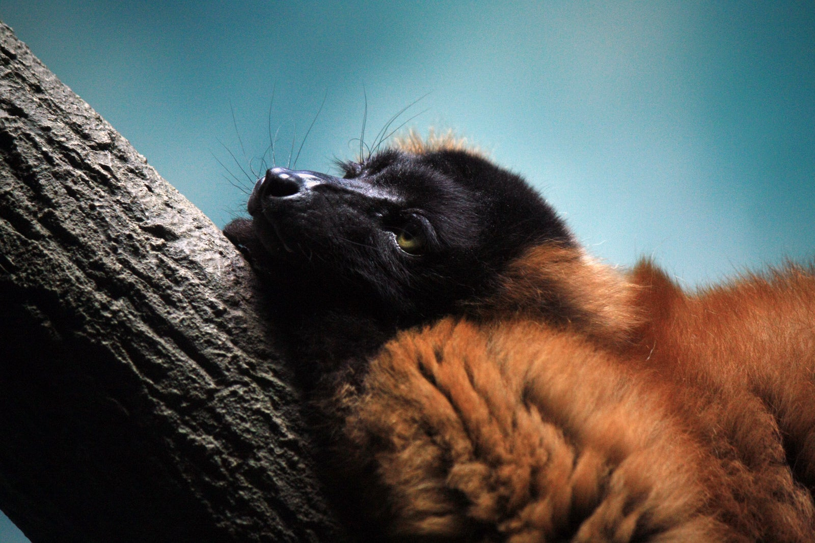This Lemur is Our New Mascot for Post-Thanksgiving Naptime