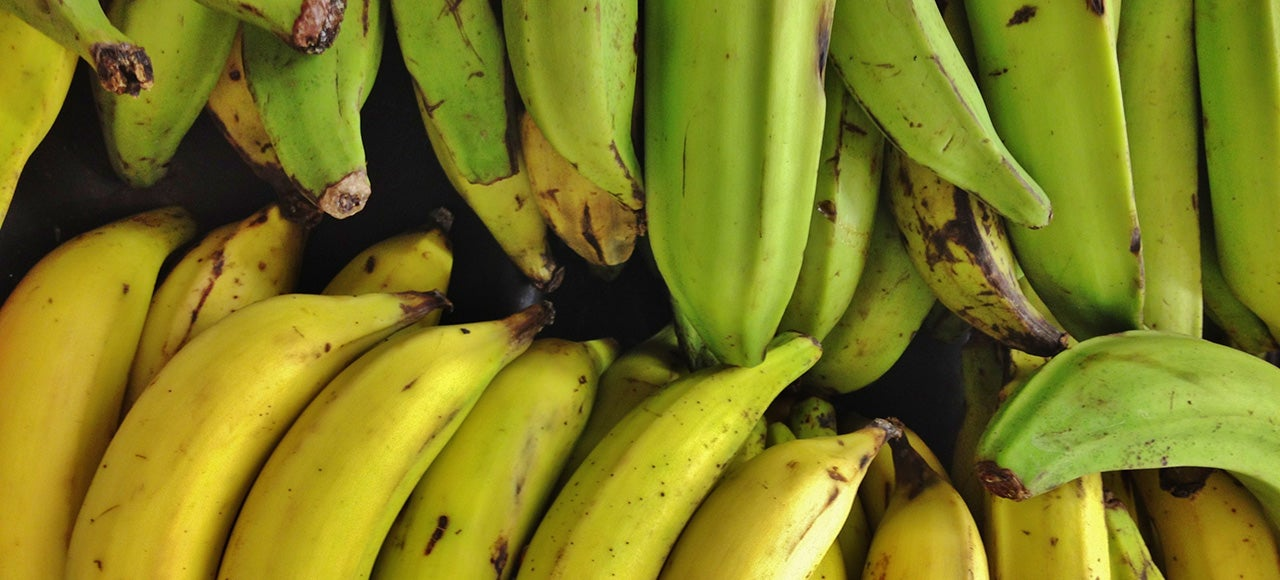 Genetically-Modified Australian Bananas Are Ready For Human Testing