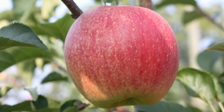 Scientists Create Sparkling Apple That Fizzes In Your Mouth