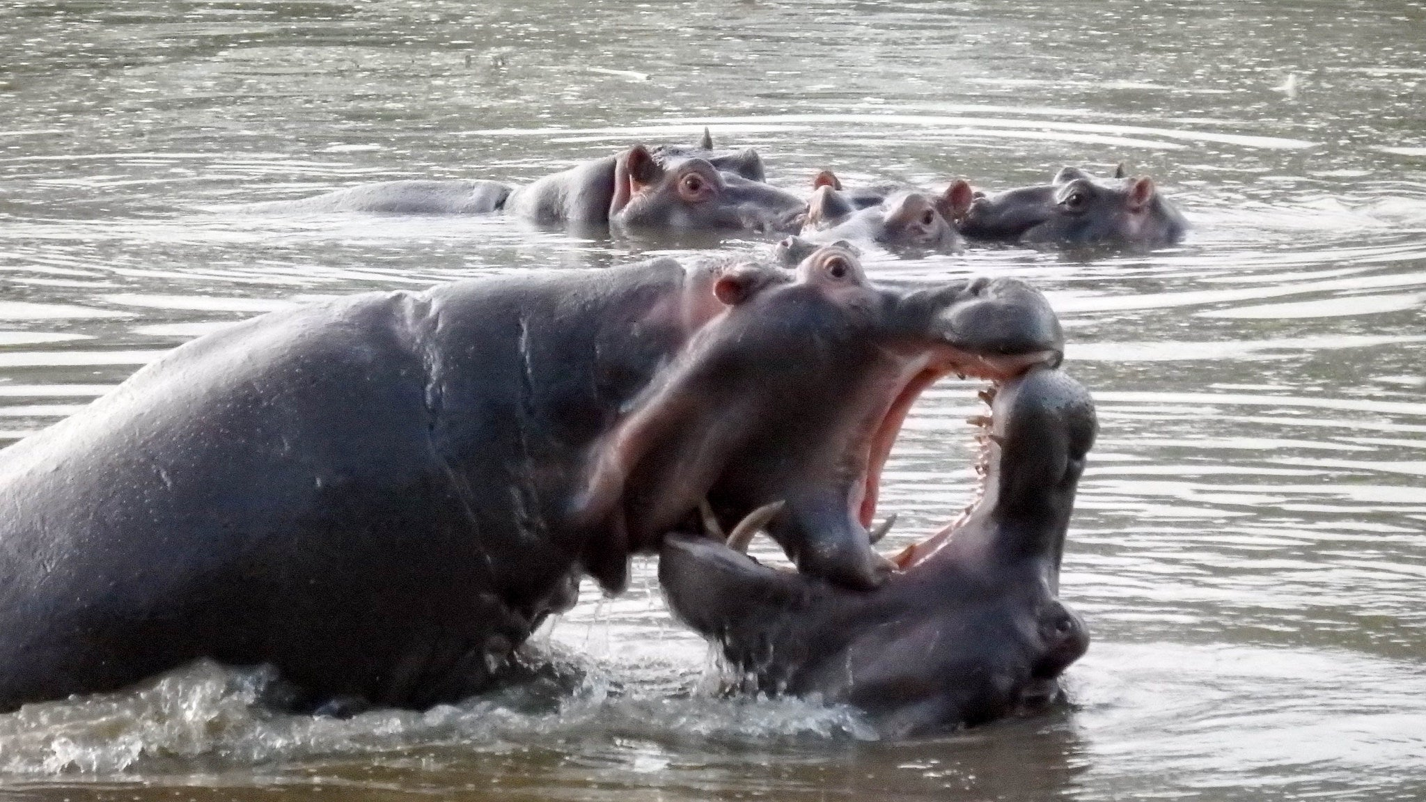 Hippo Poo Is Suffocating Fish In East Africa