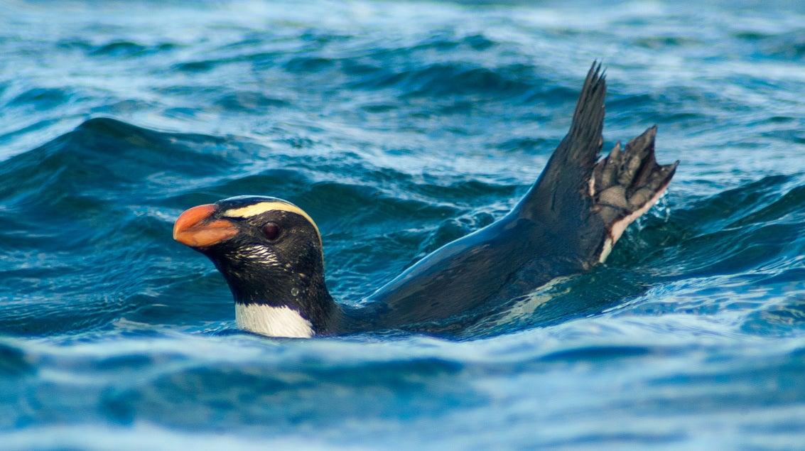 New Zealand Penguins Travel 2500 Kilometres For Food In Marathon Migration
