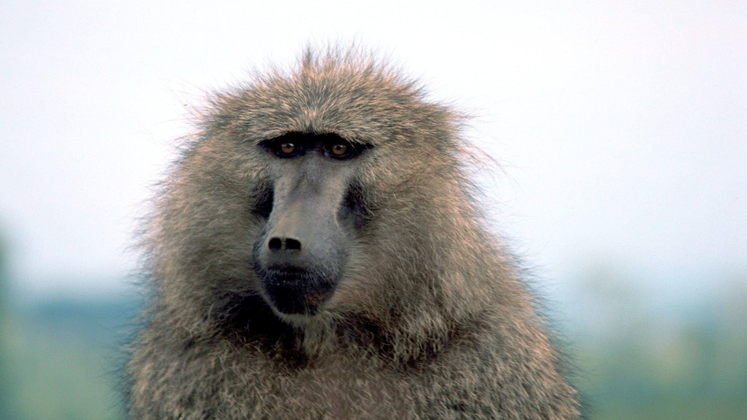 Baboon Survives For Six Months With A Pig's Heart Beating In Its Chest