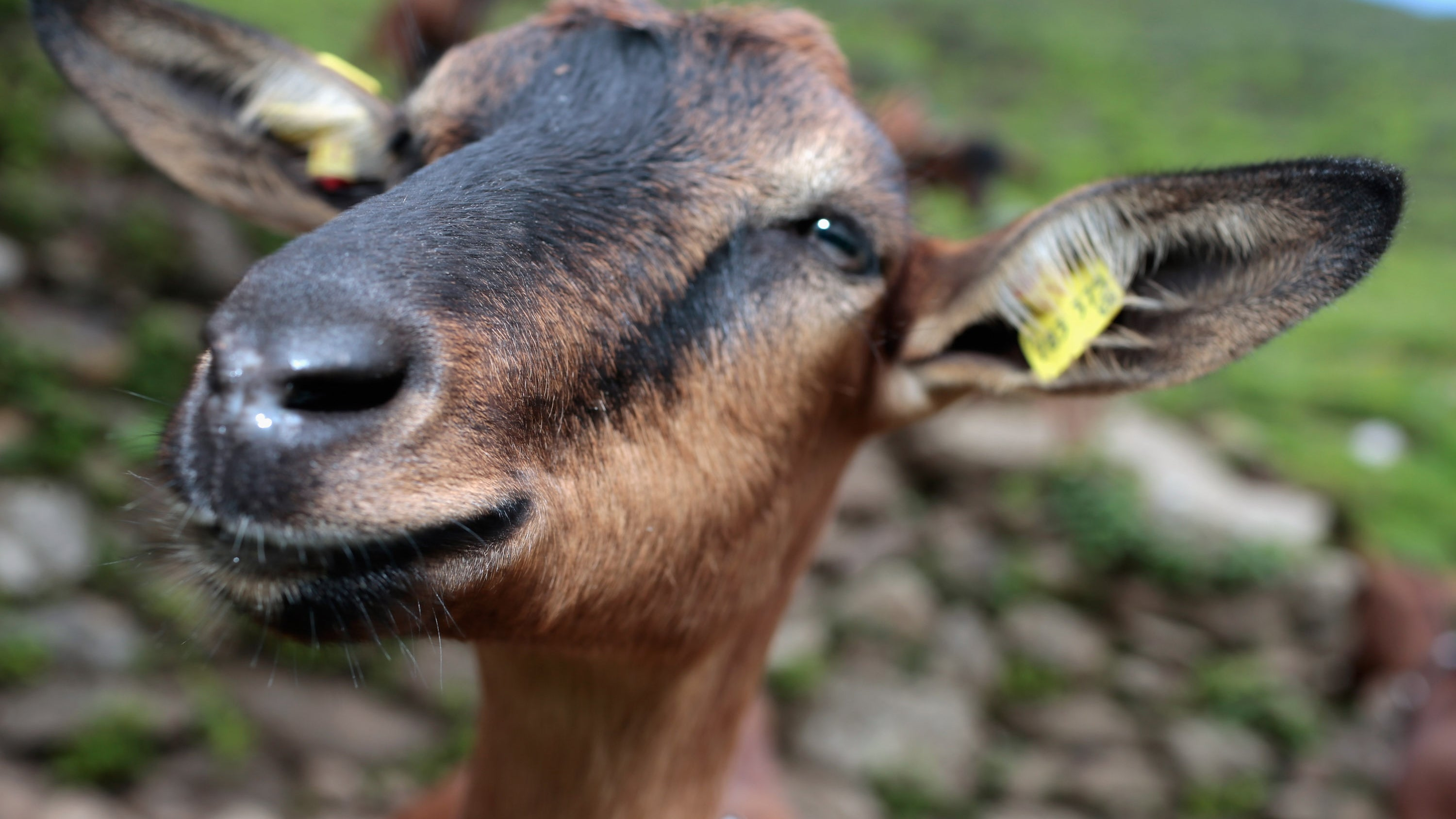 Goats Are More Like Dogs Than We Thought