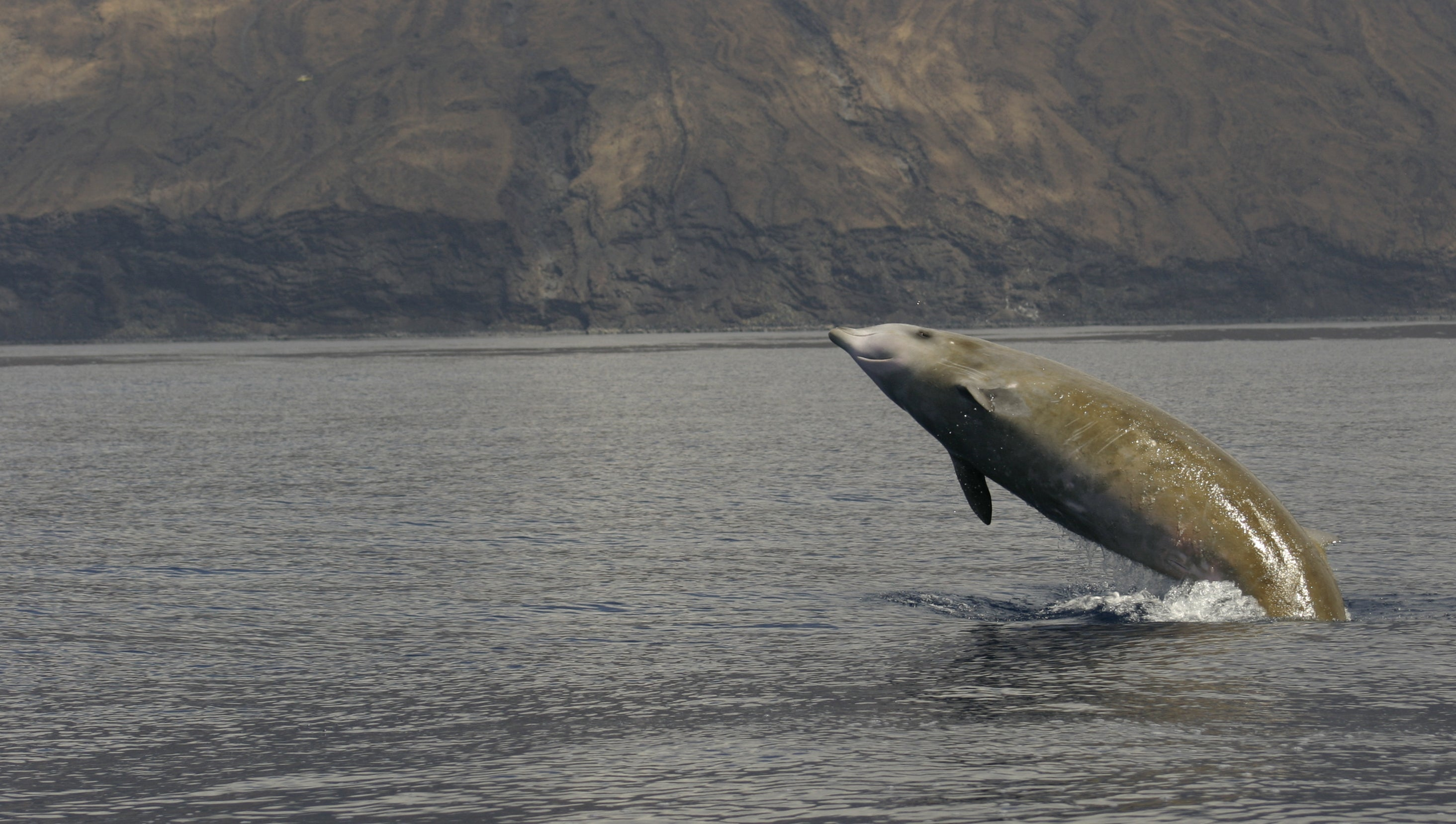 Beaked Whales Use Coordinated Stealth Mode To Evade Killer Orcas