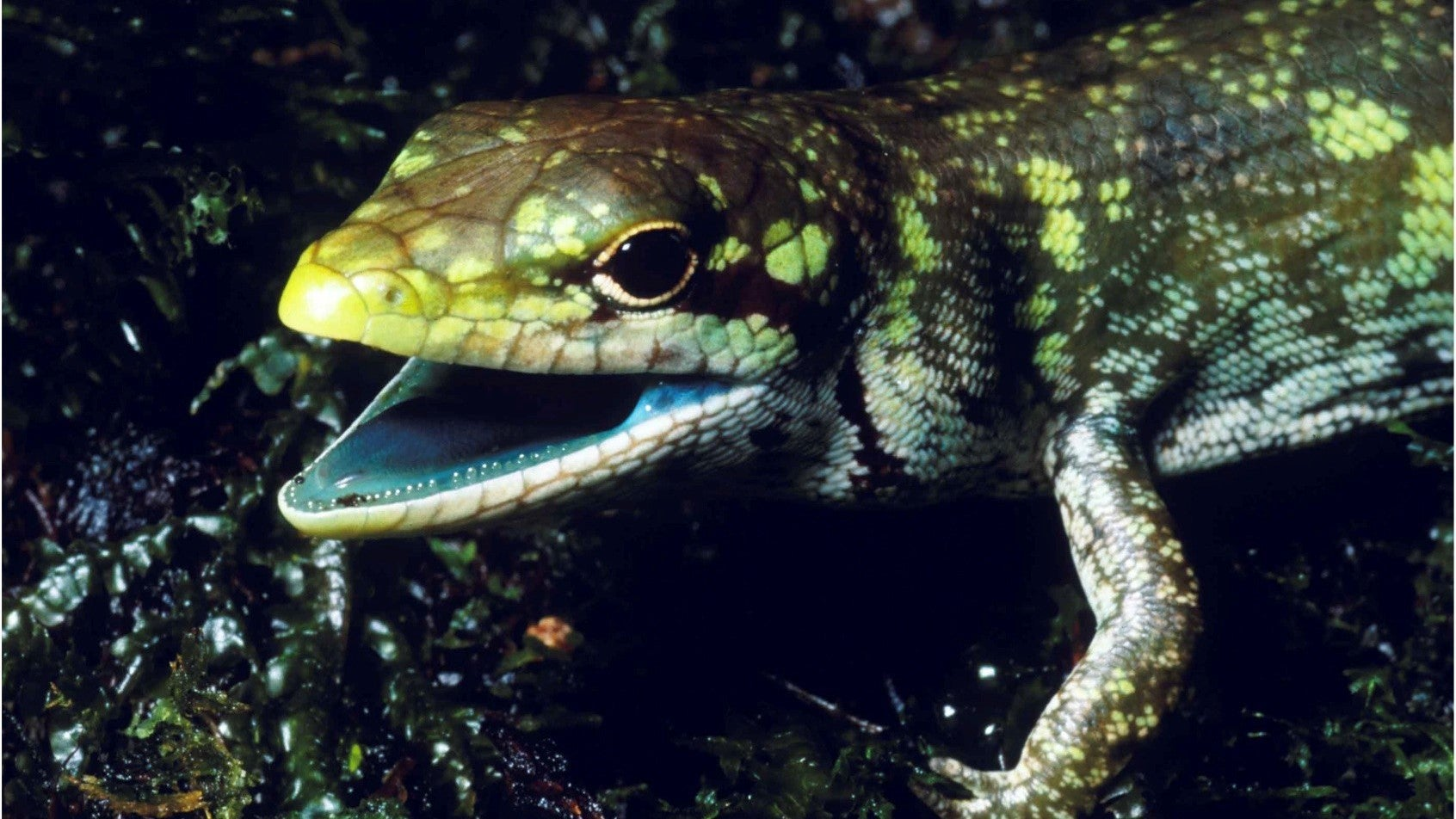 Lizards With Toxic Green Blood Are Super Freaky