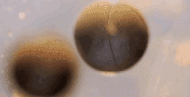 This Time Lapse Of Cell Division In A Tadpole Egg Is Freaky And Beautiful