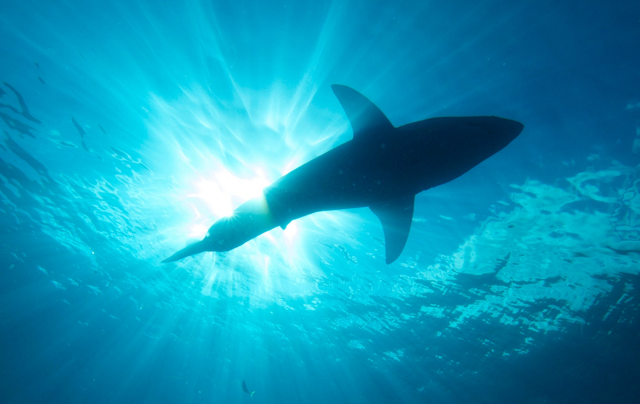 Great White Sharks Are Returning To The US Northeast
