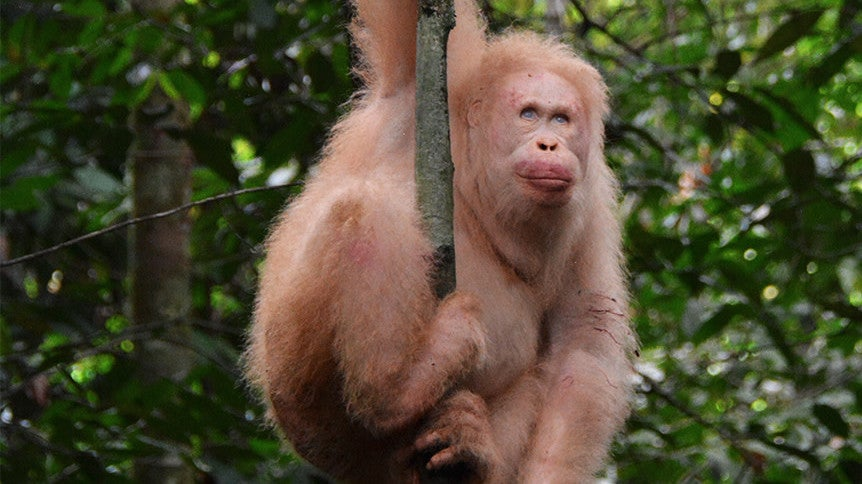 A Year After Returning To The Jungle, Alba The Albino Orangutan Is Alive And Well