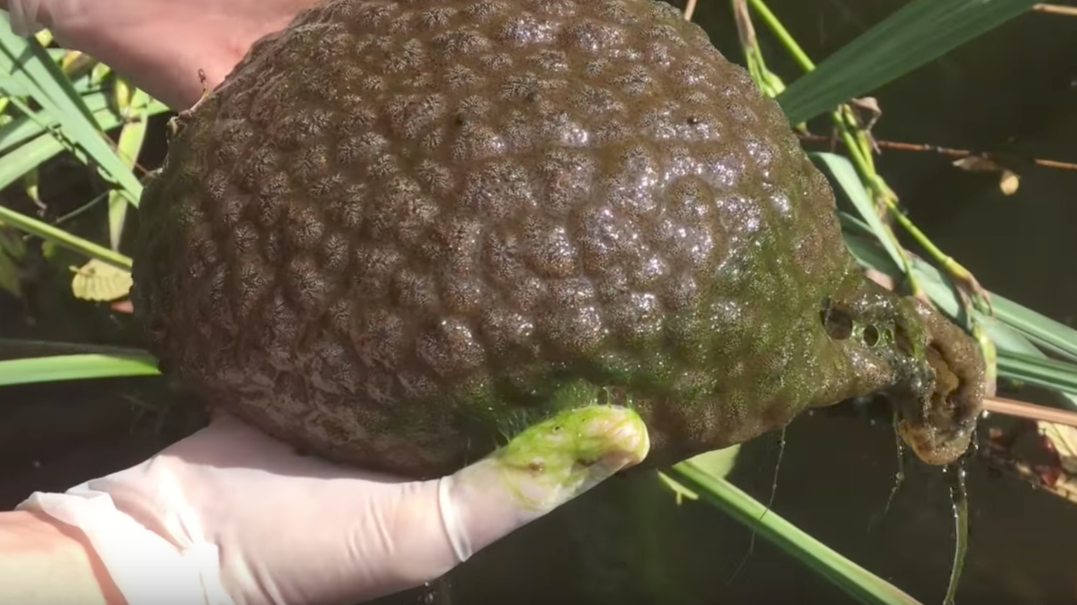 Alien-Like Blob Found In Lake Is Actually A Living Thing