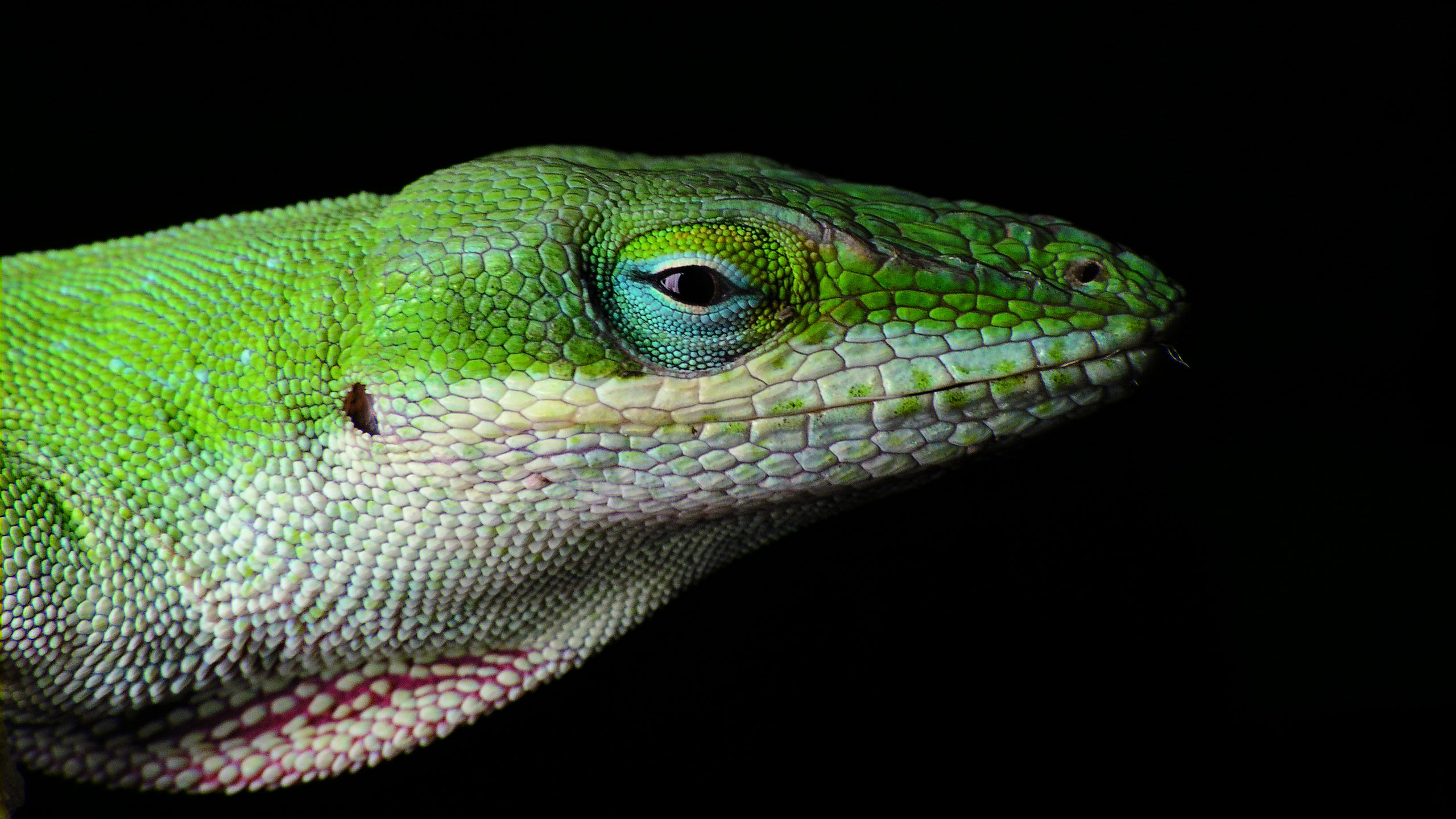 A Single Winter Storm Forced These Lizards To Start Evolving Practically Overnight