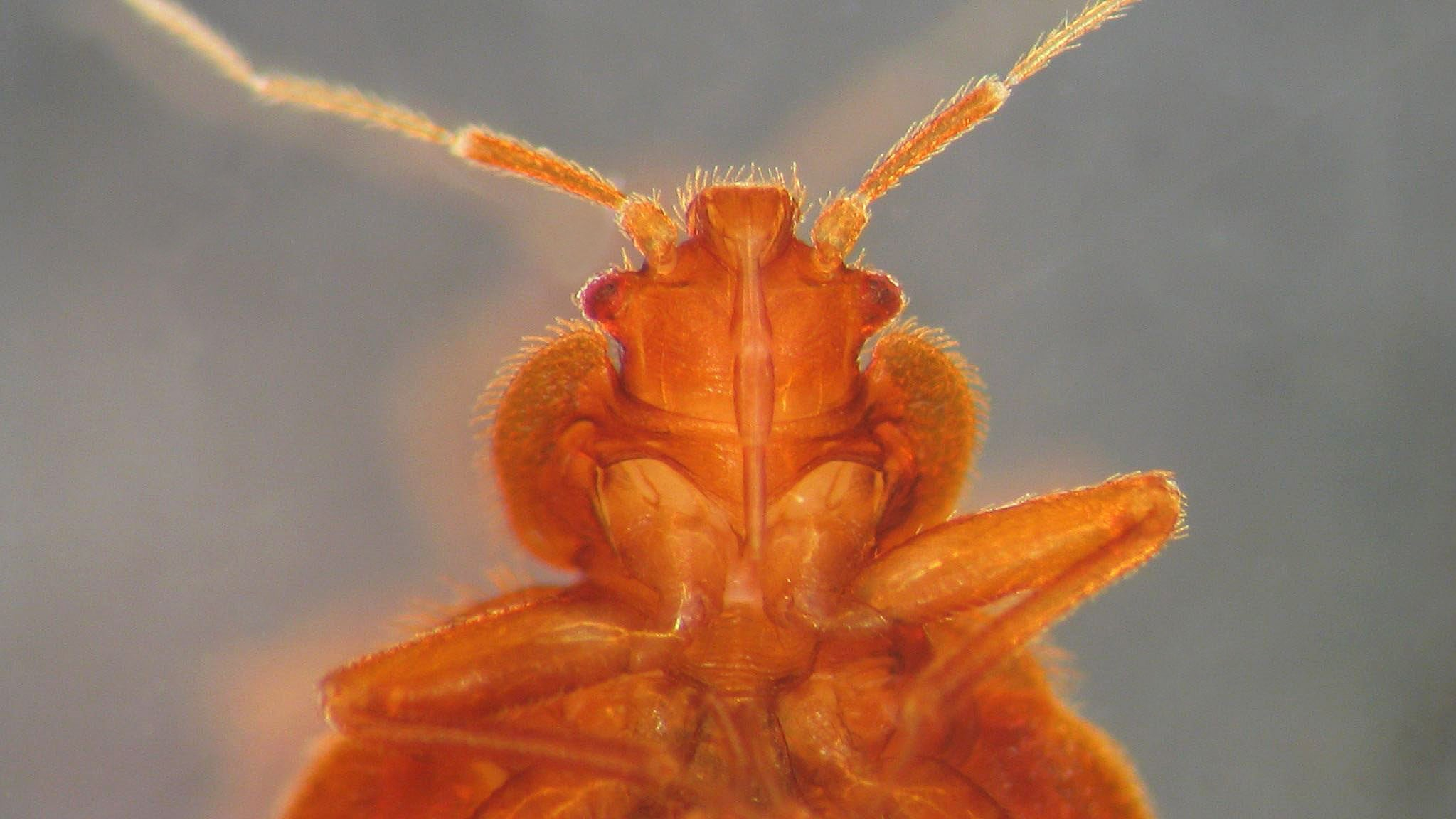 Everyone's Afraid Of Bed Bugs But Nobody Knows What They Look Like