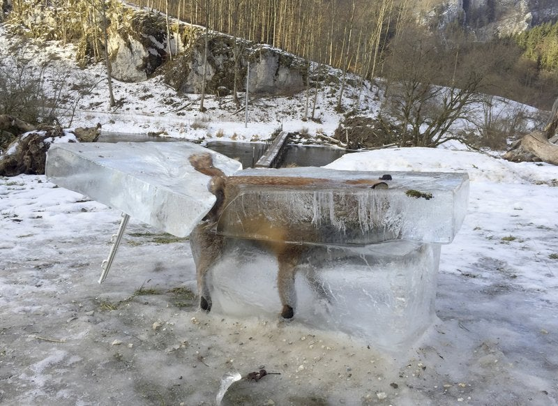 Winter Sucks For This Fox Frozen In A Solid Block Of Ice