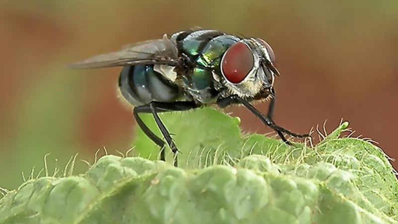Houseflies Are More Capable Of Spreading Disease Than We Realised