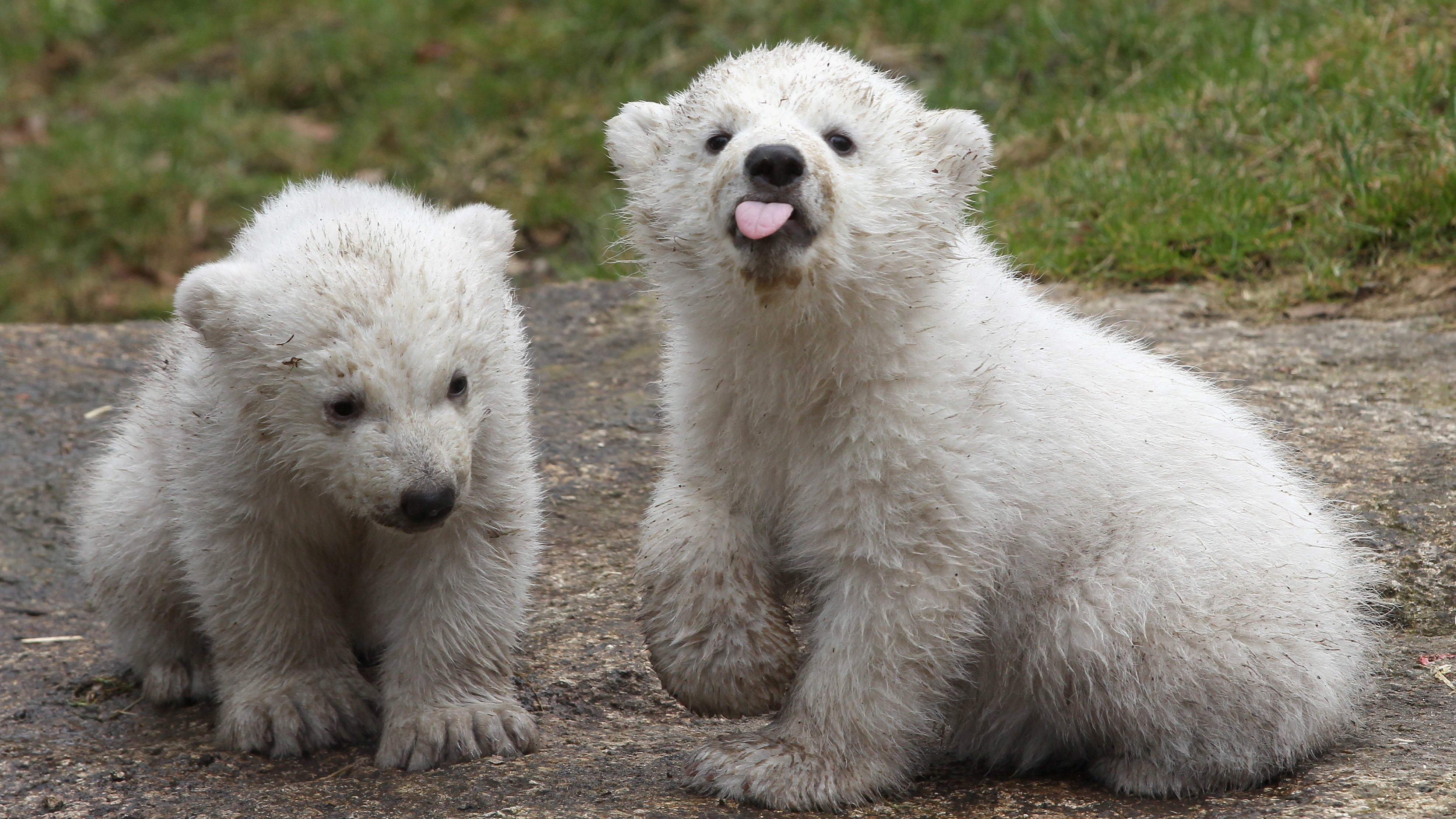 Climate Change Is Making It Harder For Polar Bears To Raise Babies
