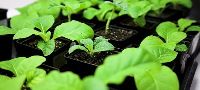 How the Experimental Ebola Serum Is Being Grown Inside Tobacco Plants