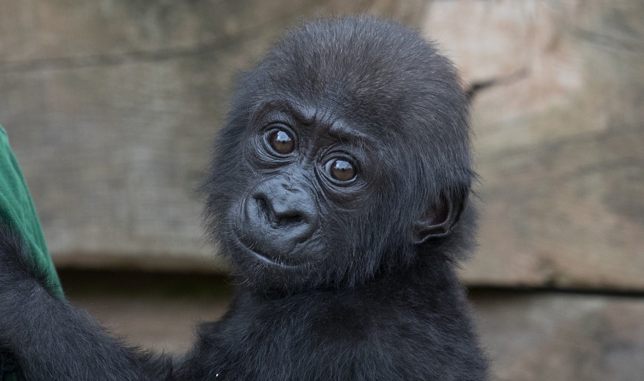 No, A Chinese Zoo Did Not Name A Baby Gorilla Harambe McHarambeface