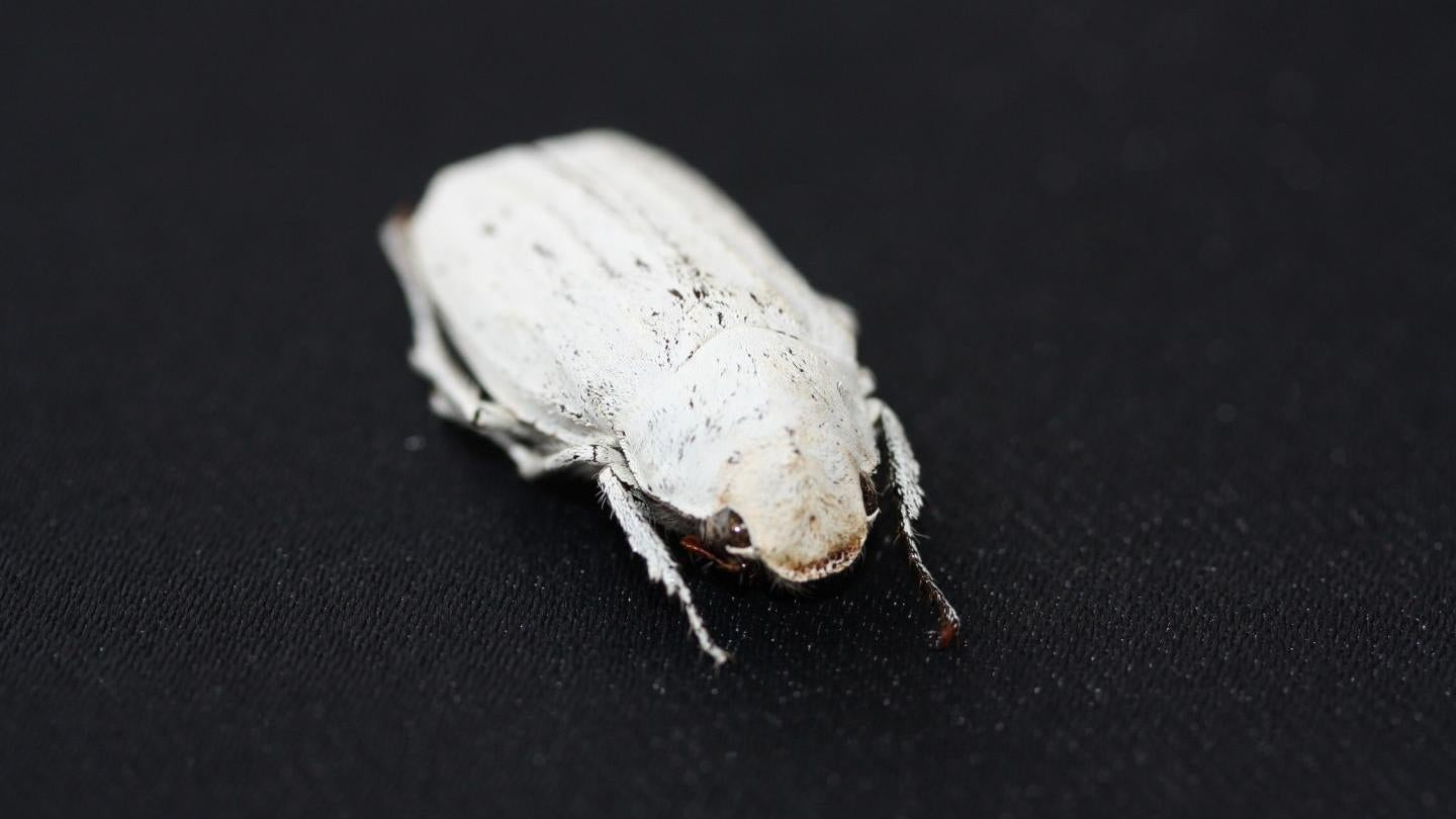 New Super-White Material Inspired By Eerily White Beetle