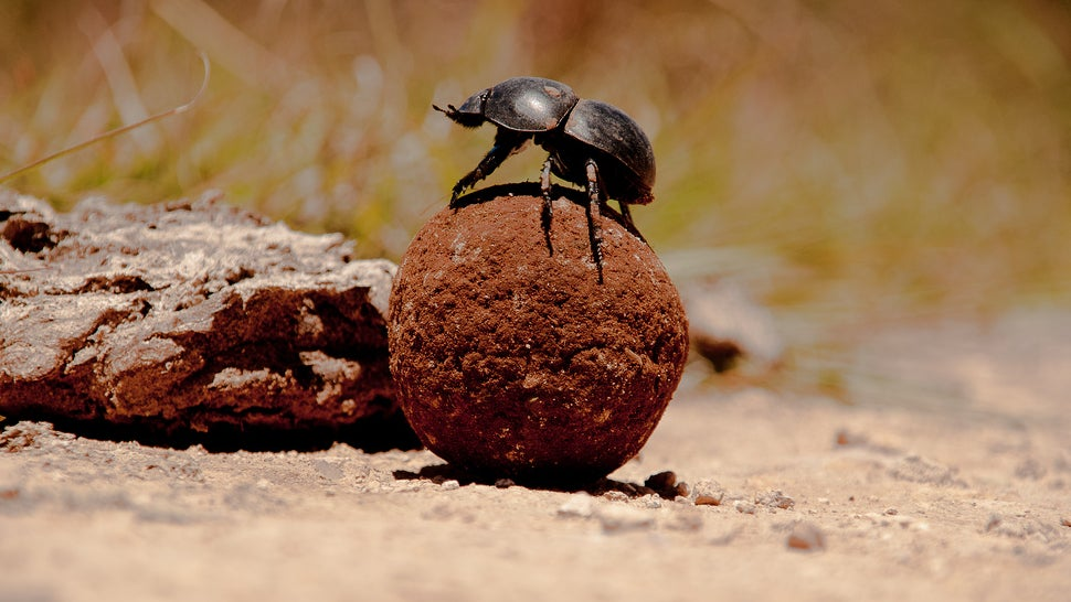Dung Beetles Navigate by Storing Star Maps in Their Tiny Brains