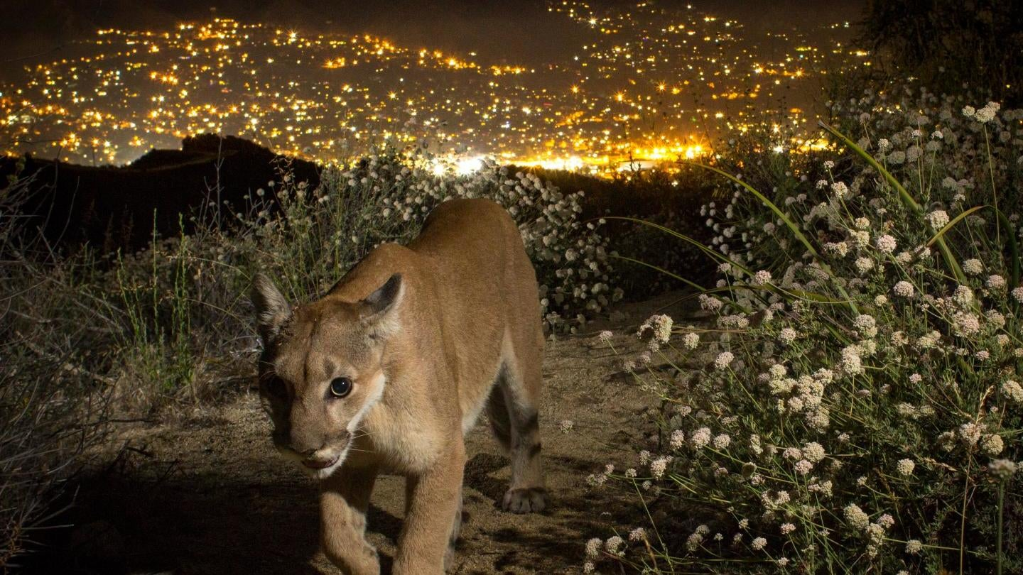 LA's Mountain Lions May Face Extinction — But There's A Way To Save Them