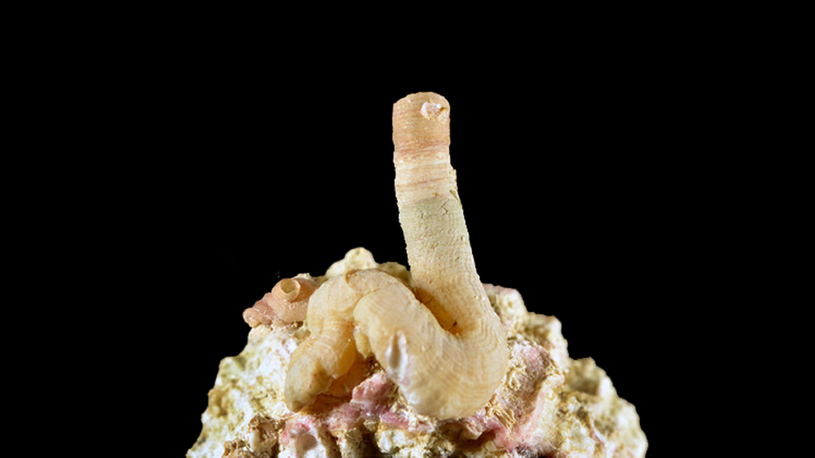 This New Species Of Worm Snail Is Basically A Penis