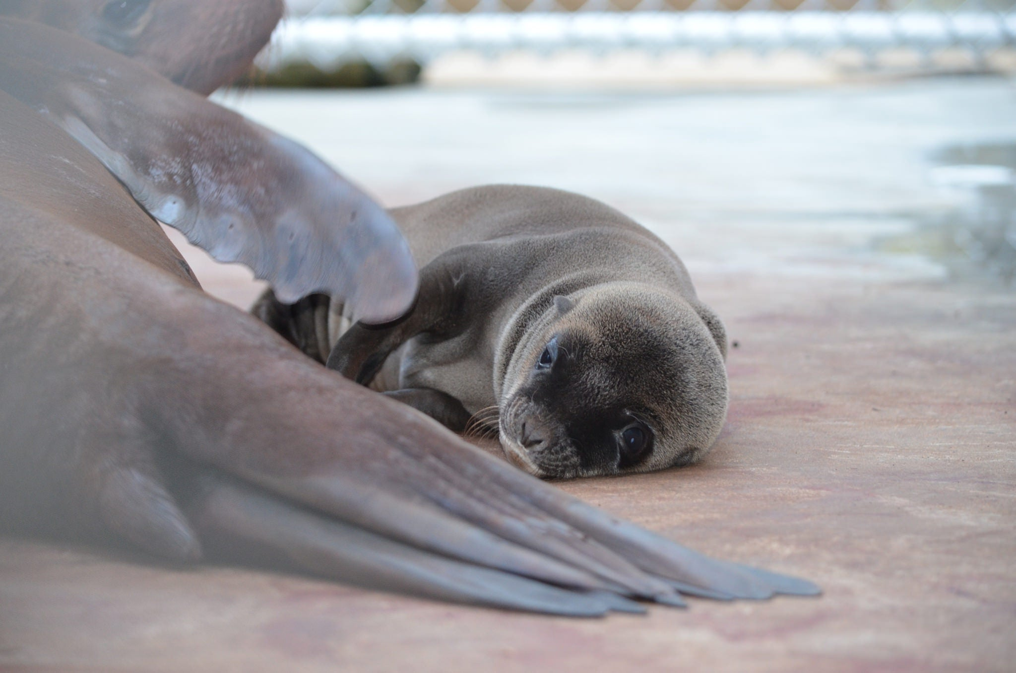 Sea Lion Pup, Too Pure For This World, Born at National Zoo