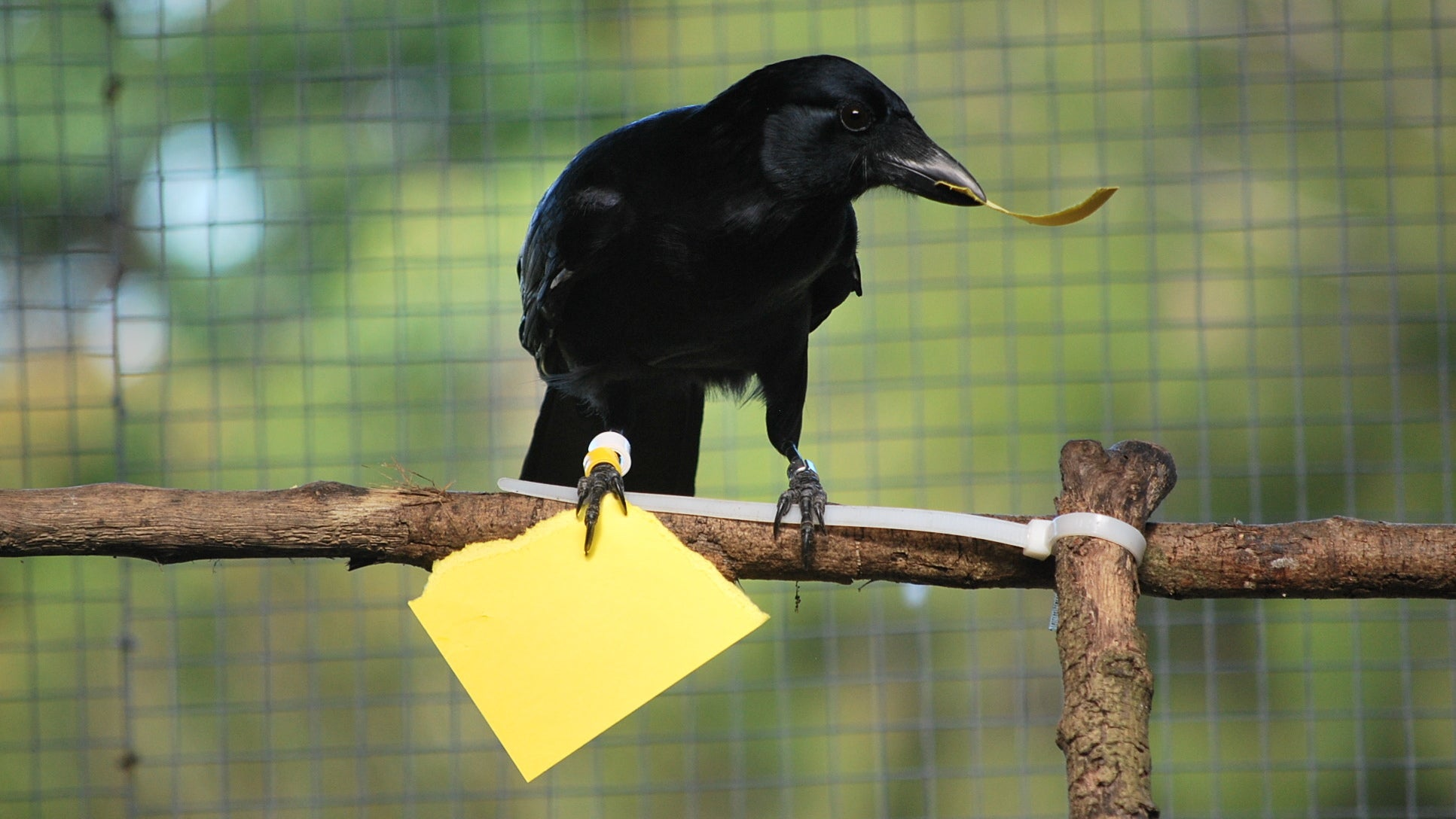 Neat Experiment Suggests Crows Are Even Better Toolmakers Than We Thought