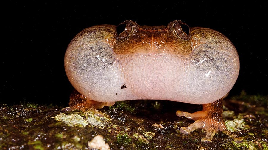 Newly Discovered Mating Position Shows Frogs Have Freaky Sex Lives