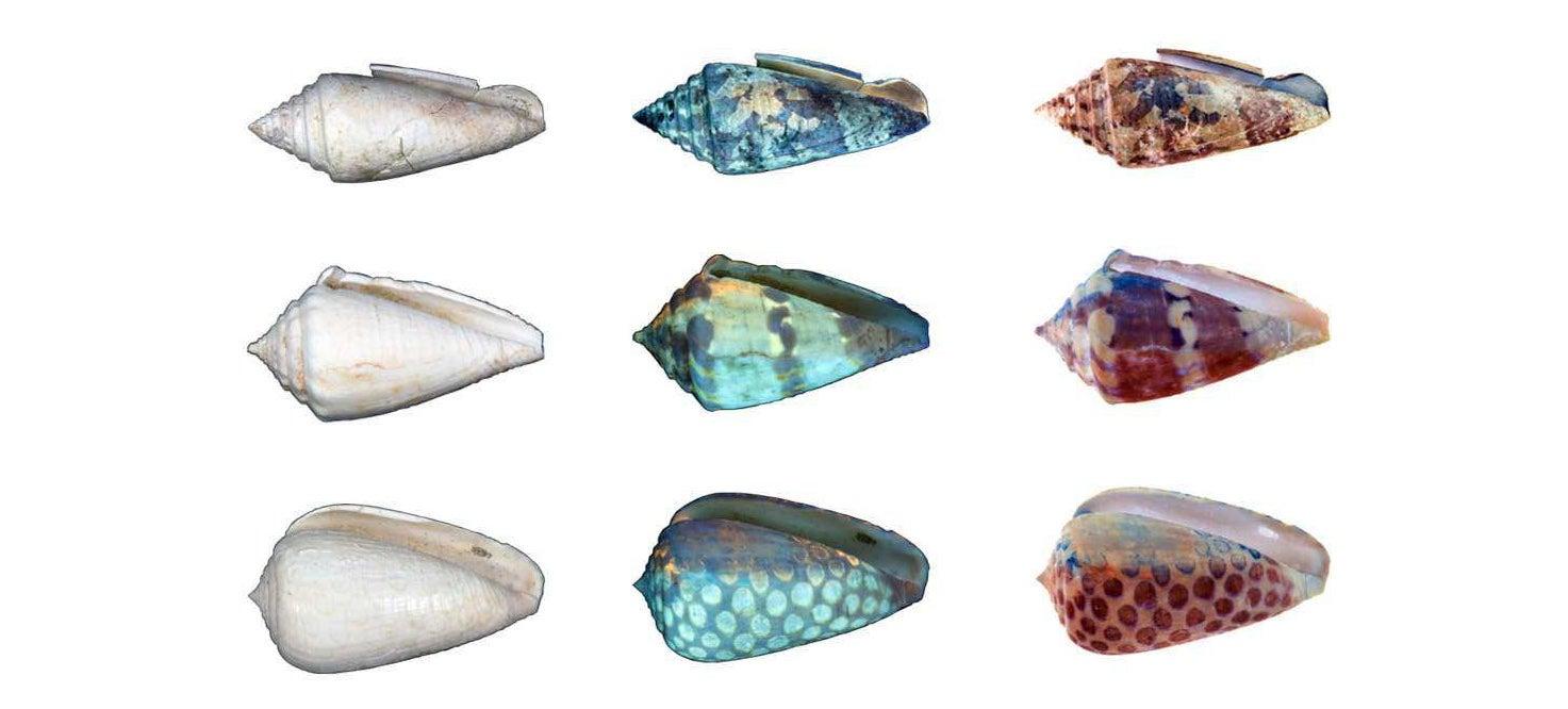 UV Light Reveals the Former Glory of Ageing Seashells