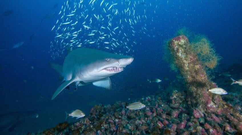 Atlantic Shipwreck Graveyard May Be Key Habitat For Imperiled Sharks