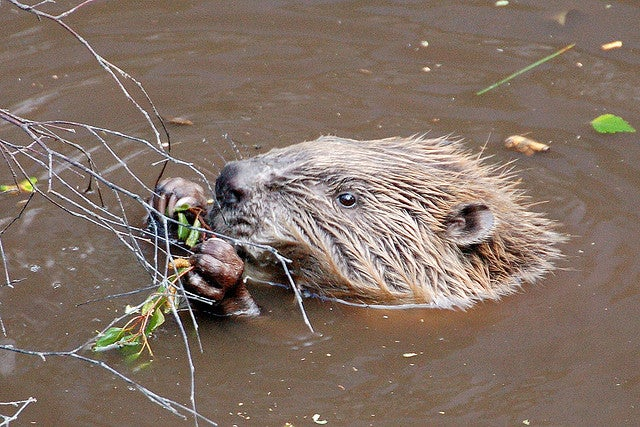 The Idaho Government Once Forced Beavers to Skydive With WWII Parachutes