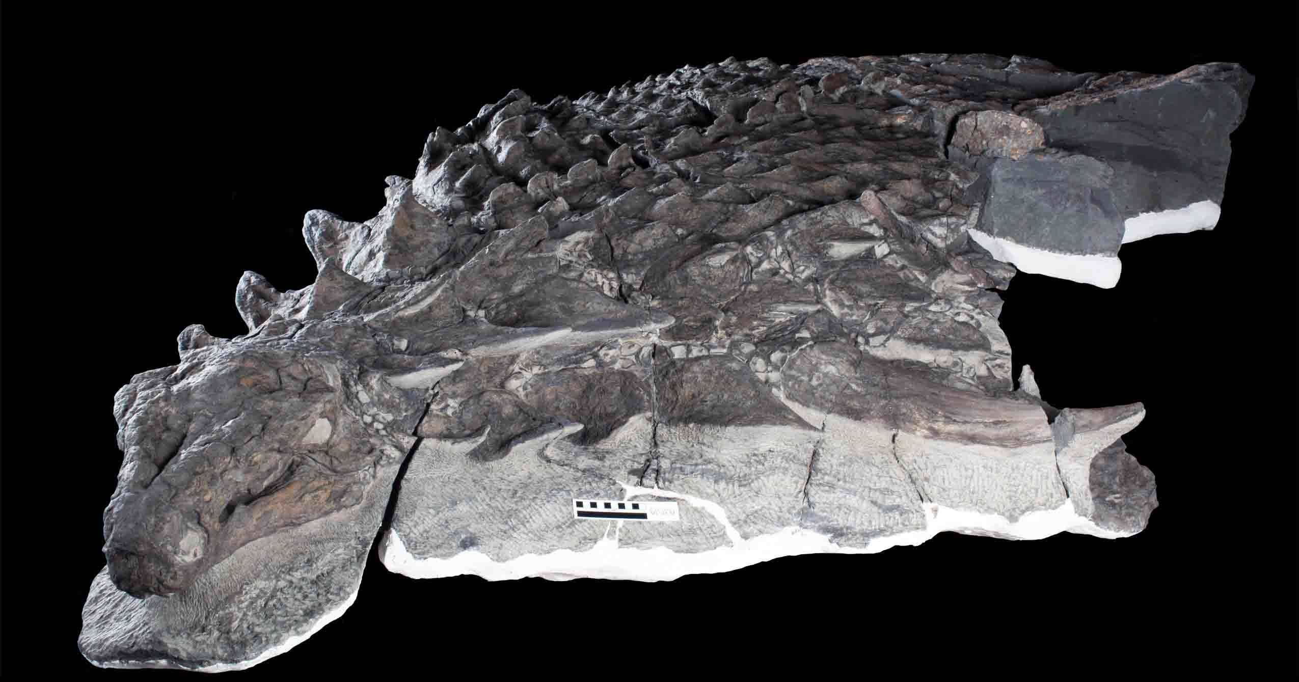 Incredibly Well-Preserved Fossil Changes Our Understanding Of Armoured Dinosaurs