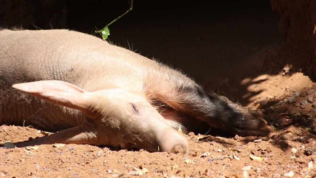 Aardvarks Might Be Doomed Because Of Climate Change