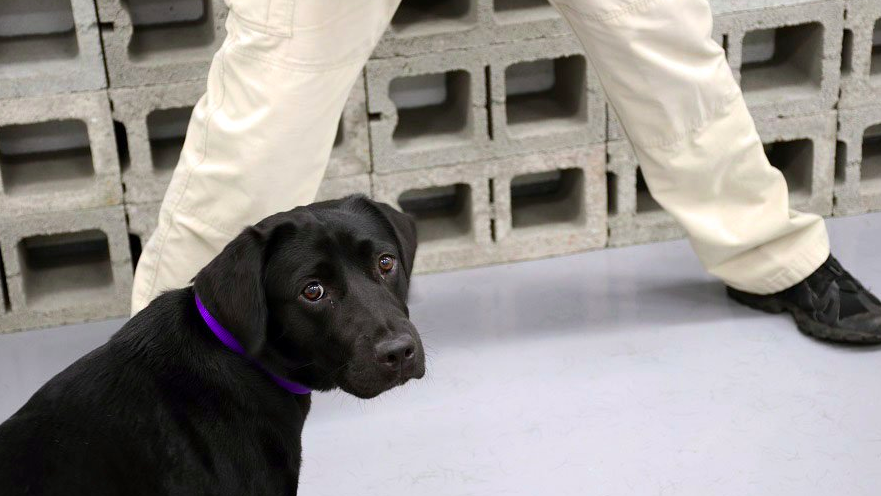 Central Intelligence Agency bomb sniffing puppy retires after losing interest in searching for explosives