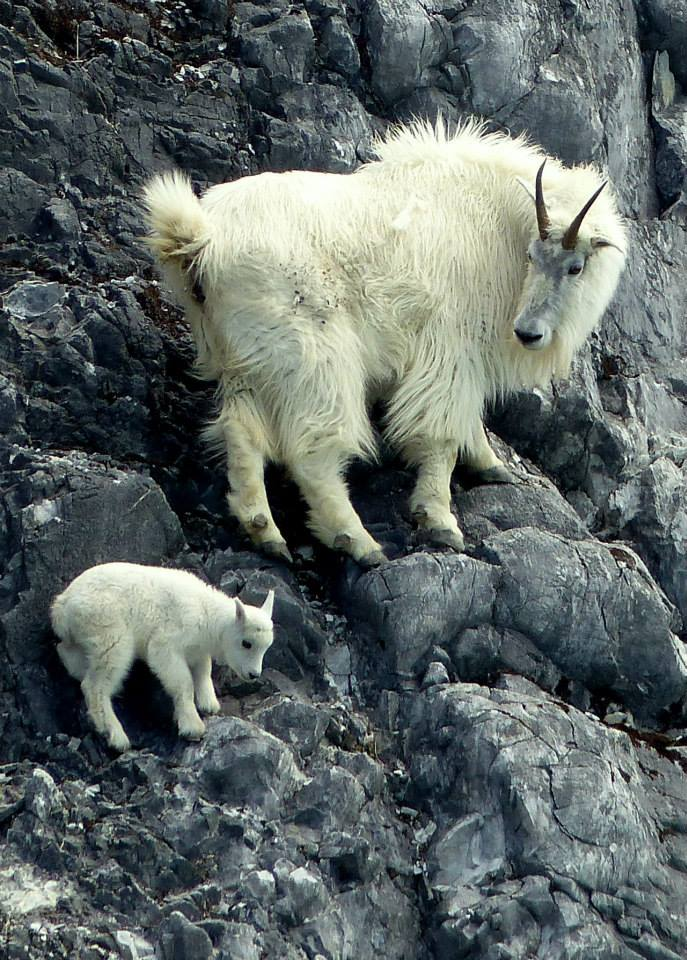 An Ode To The Magnificent Feet Of Mountain Goats