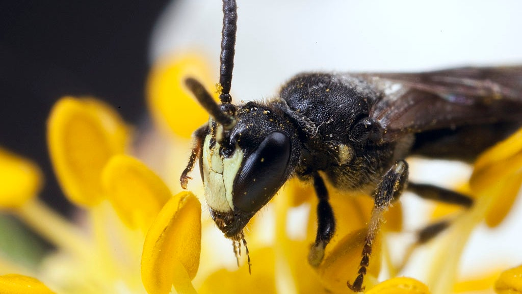 Bees Placed on Endangered Species List for the First Time in the US