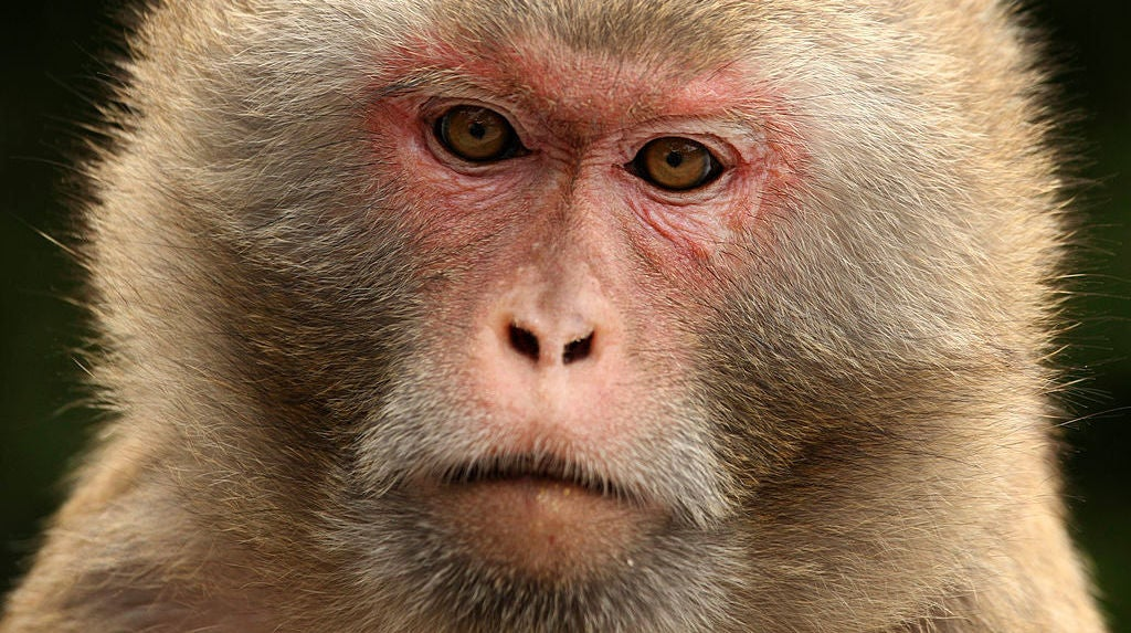 Researchers Control Monkeys' Decisions With Bursts Of Ultrasonic Waves