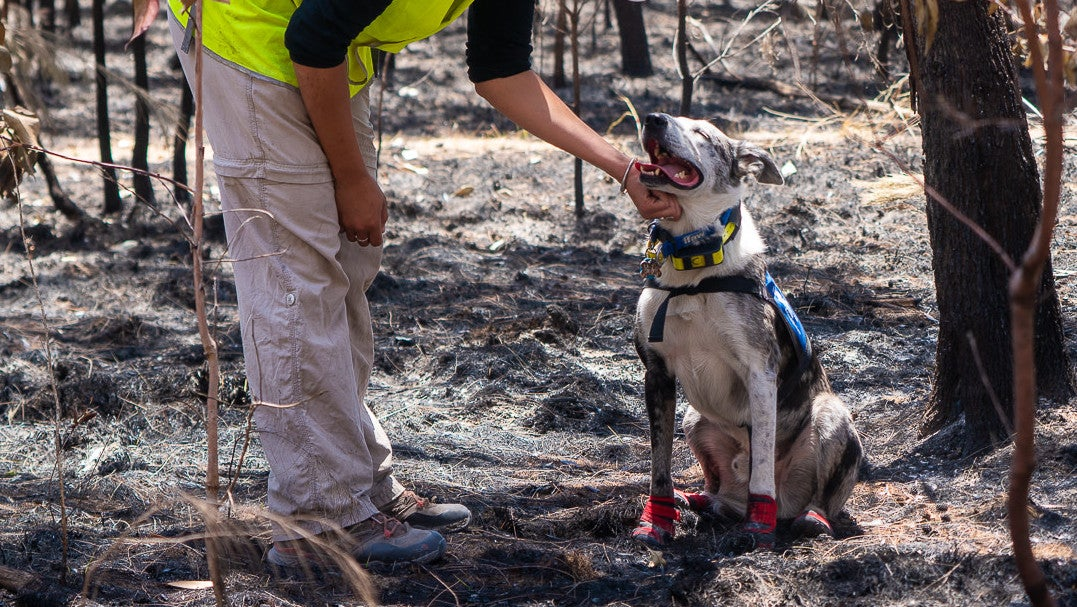 People And Dogs Unite To Save Koalas From Australia's Horrific Bush Fires