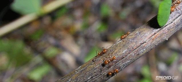 The complicated and fascinating life of farming leafcutter ants