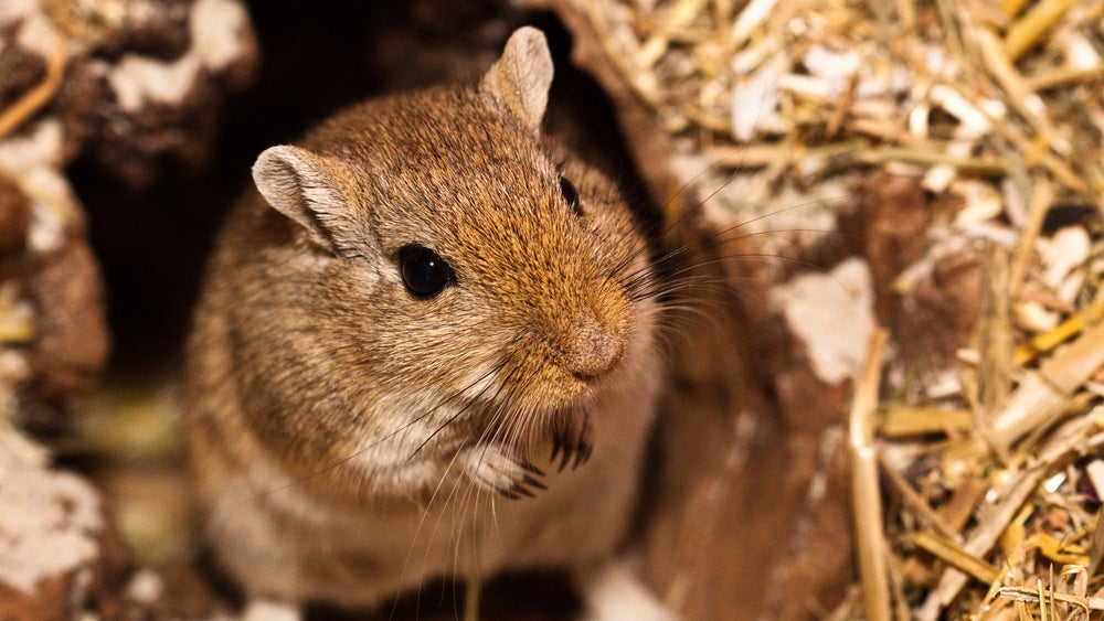 The Black Plague Was Probably Caused By Cute Gerbils, Not Dirty Rats