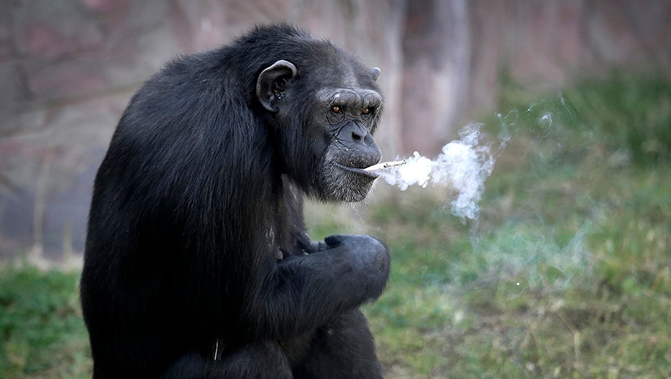 North Korea's Zoo Chimp Smokes A Pack A Day Because Life Is Cruel And People Are Terrible