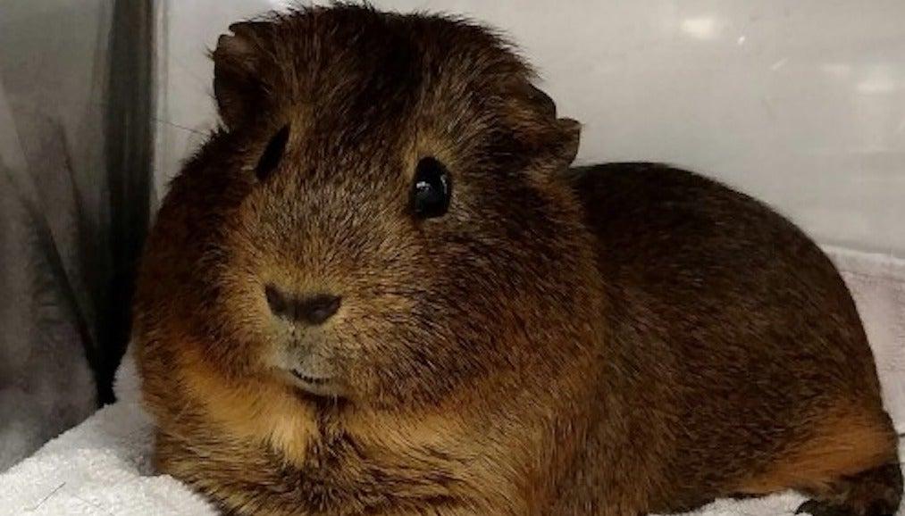 guinea pig stream kinox