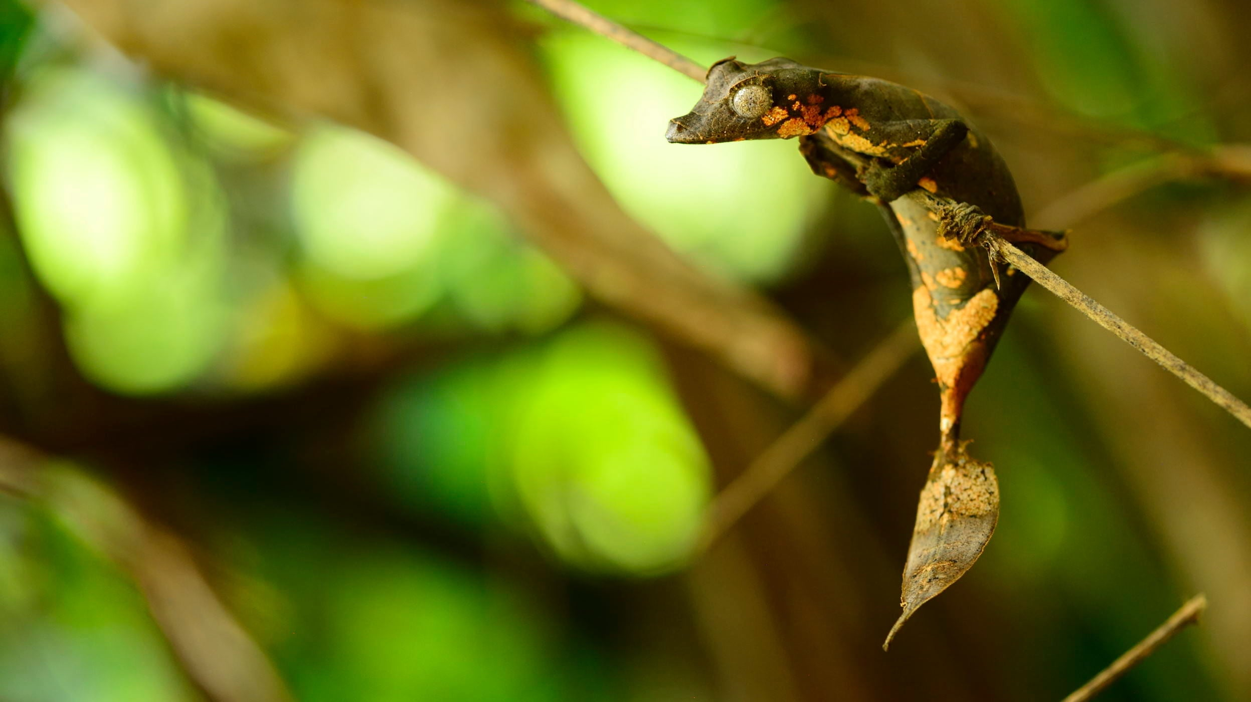 Newly Discovered Gecko Species Is Extremely Good At Being A Leaf