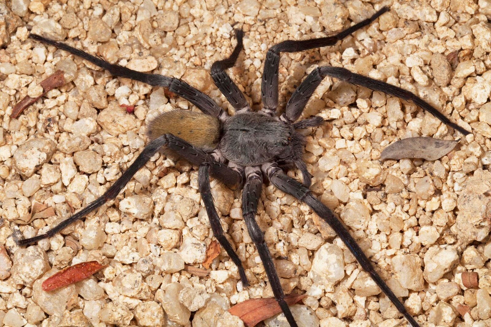 This New Mexican Cave Spider Is Ridiculous