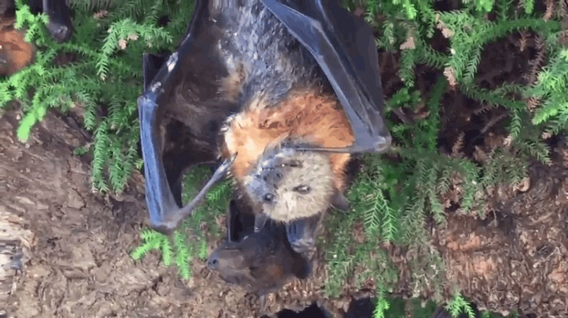 gigantic bats are dying upside down making australia s heatwave