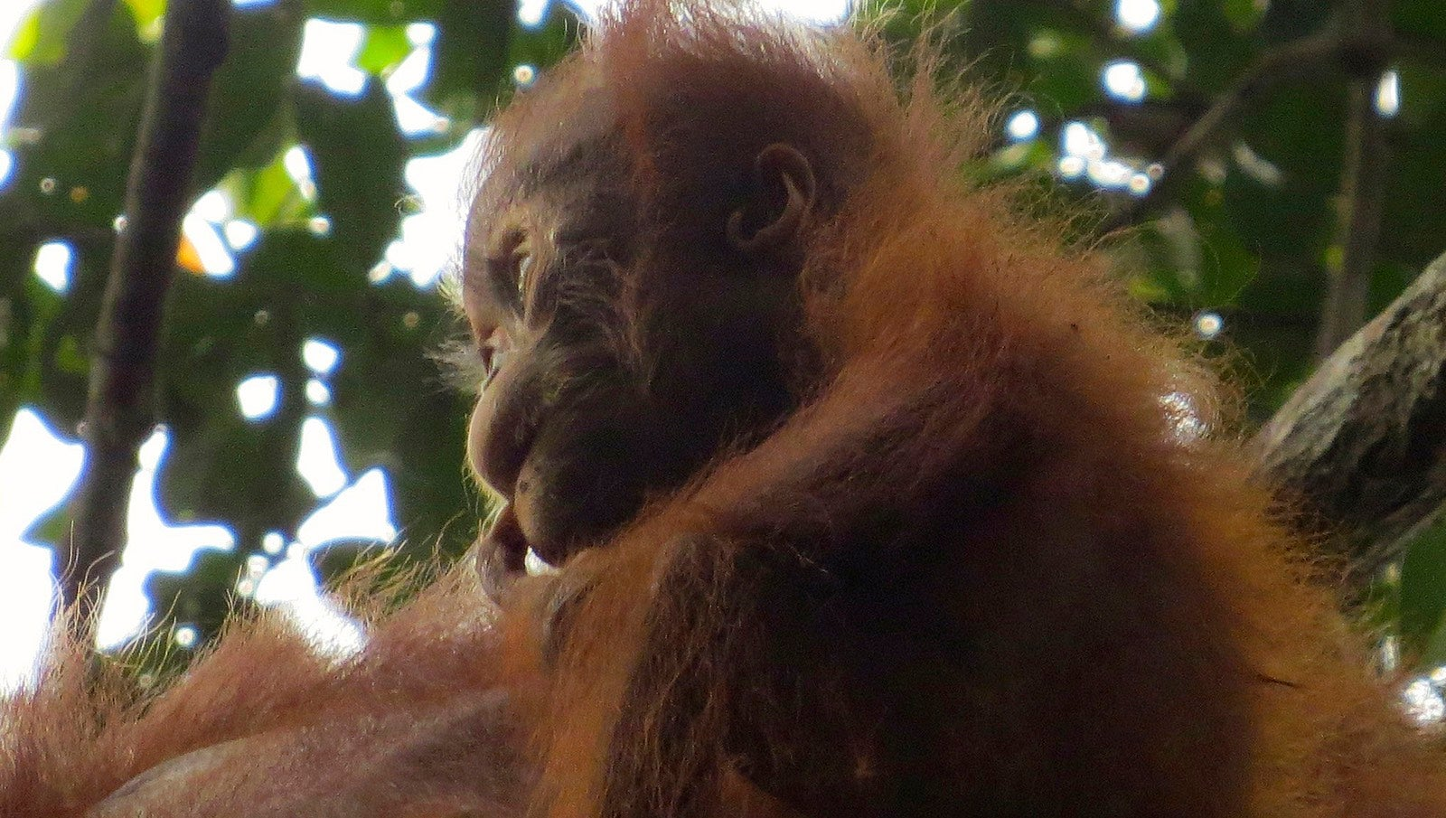 Baby Orangutans Rely On Their Mothers' Milk For Almost A Decade