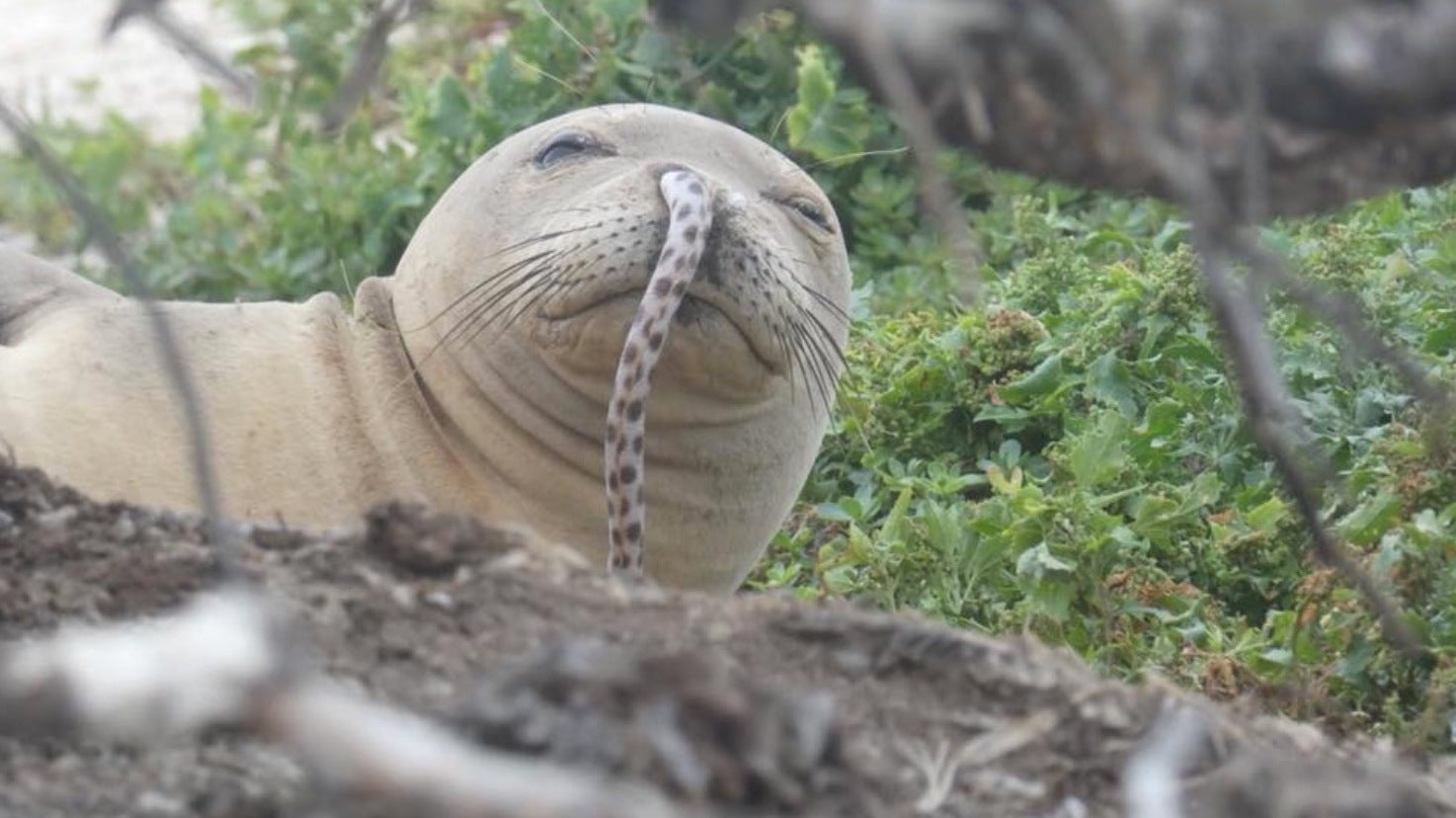 Silly Seal Gets An Eel Stuck In His Nose