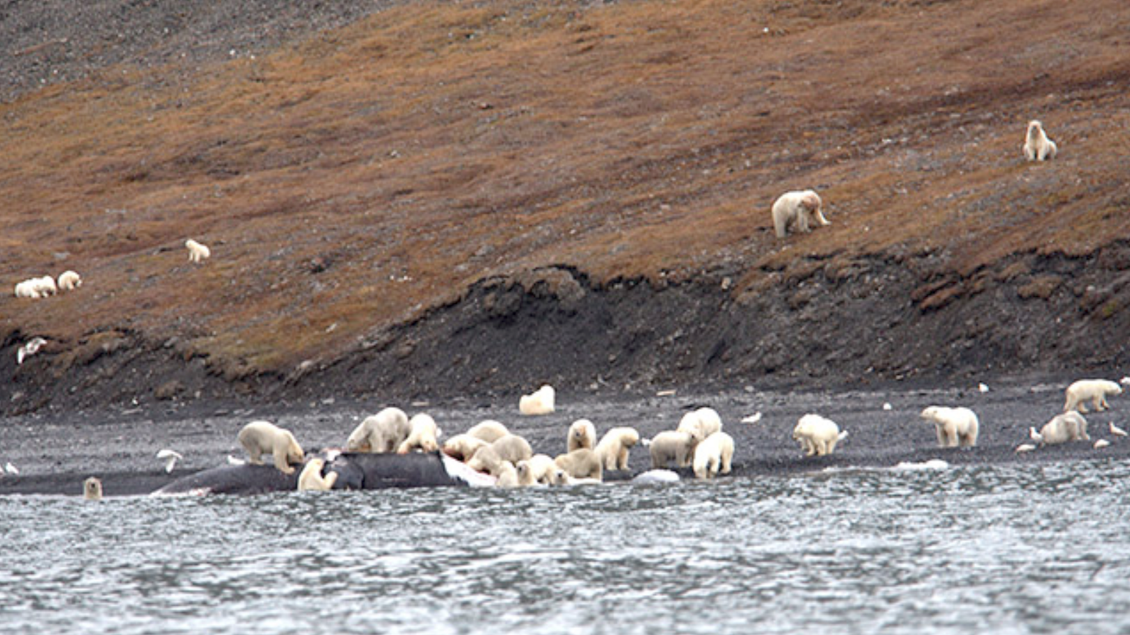 'There Are No Words': Tourists Spot Hundreds Of Polar Bears Swarming Whale Carcass In Siberia