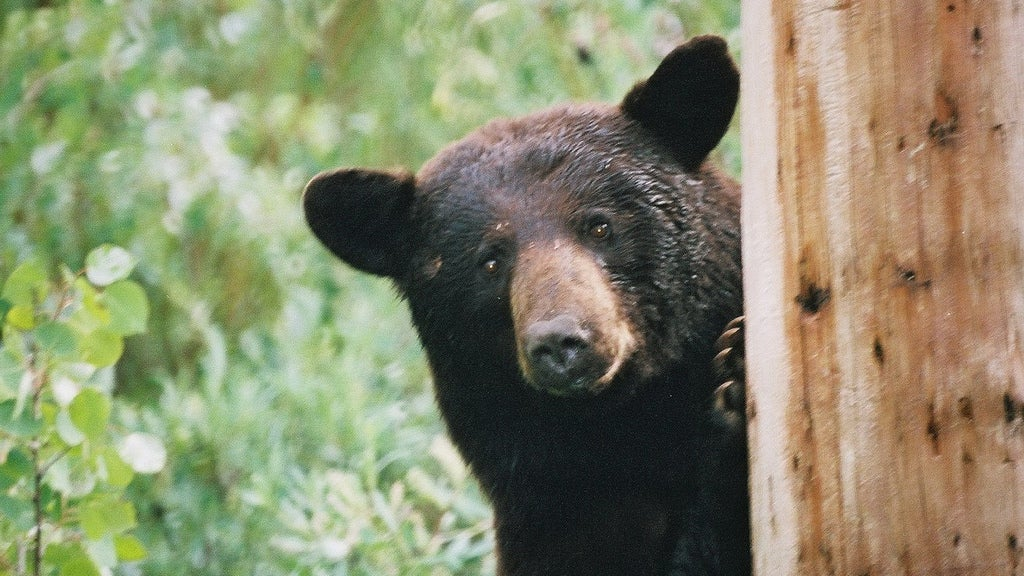 These Bears Eat As Much Junk Food As You Do